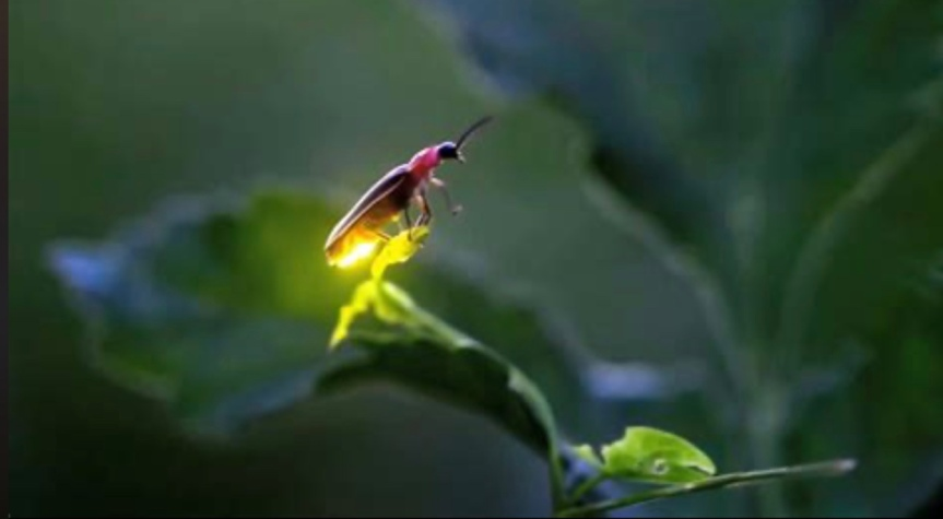 Fireflies In The Great SmokyMountains